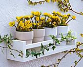 Eranthis hyemalis in planters on white wall shelf