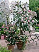 Camellia 'Nuccio's Pearl', 'Spring Festival'