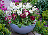 Narcissus 'Nir' syn. 'Paperwhite' (Daffodil), Primula auricula