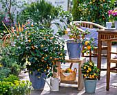 Citrofortunella microcarpa (Calamondin oranges), Citrus limon