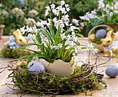 Puschkinia scilloides (Puschkinia) planted in ostrich egg