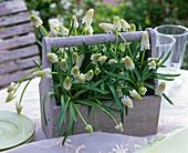 Muscari 'Alba' (Grape Hyacinth) in gray wooden carrier