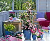 Camellia japonica 'Spring Festival' (camellia), Hyacinthus