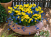 Terracotta Bowl with Narcissus 'Tete A Tete' (Daffodil)
