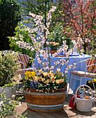 Wooden tub with Prunus (ornamental cherry), Tulipa 'Authority' (tulip)