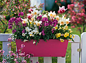 Pink wooden box with Erysimum 'Winter Joy' (gold lacquer)