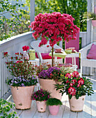Rhododendron 'Toreador' (Japan.