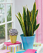 Sansevieria and Echeveria, boxes at the window