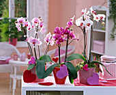 Phalaenopsis (Malay flower), felt heart