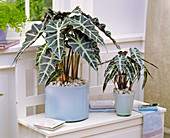 Alocasia, with gravel as 'mulch'