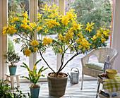 Acacia dealbata, Acacia armata, Olea