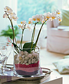 Phalaenopsis (Malay flower) in glass filled with decorative sand