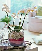 Phalaenopsis (Malayenblume) in Glas gefüllt mit Deko - Sand