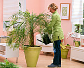 Woman pours Phoenix roebelenii (dwarf date palm)