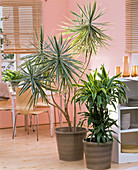 Dracaena (dragon trees) as a room divider in the kitchen