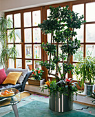 Ficus microcarpa as a room tree, planted with Guzmania