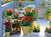 Tulip balcony with Tulipa 'Horizon' 'Orange Princess' 'Bright Sight'