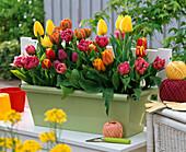 Tulipa 'Orange Princess', 'Matchpoint', 'Golden Horizon'