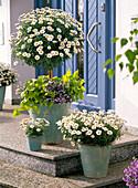 Argyranthemum frutescens, stem underplanted