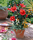 Hibiscus rosa-sinensis 'Barcelona' (rosemary) planted