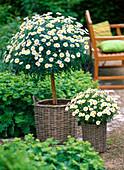 Argyranthemum 'Stella 2000' (Marguerite) strain