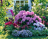Rhododendron 'Scintillation' and yakushimanum 'Silver Cloud'
