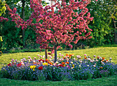 Malus 'Paul Hauber' (ornamental apple) In the middle of a tree slice