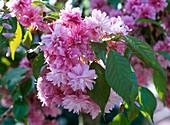 Prunus serrulata 'Kiku-Shidare-Zakura' flowers