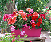 Geraniums are impinging on wooden flower box