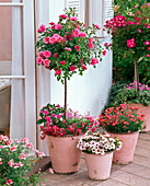 Pink 'Medley Pink', 'Lupo' (Rose Stem)