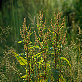 Rumex crispus, is used in homeopathy for dry cough
