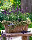 Lavandula Hidcote 'Dark Blue' (lavender) in terracotta box