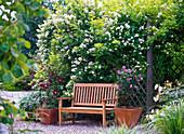 Rosa multiflora (Vielblütige Rose) on vine wall, clematis