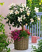 Hibiscus rosa-sinensis (Rosemary), stem, underplanted