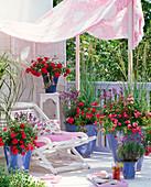 Pink 'Gardener Joy', 'Knirps' (Groundcover Rose) by Kordes