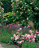 Pink 'Kir Royal' (climbing rose), 'Botticelli' (small shrub rose)