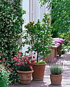 Duft - Terrasse : Citrofortunella microcarpa (Calamondinorange), Dianthus