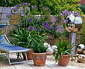 Sun terrace with Agapanthus (African ornamental lily)