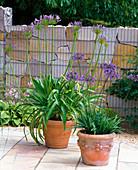 Agapanthus (Afrikanische Schmucklilien) in Terracotta - Kübeln