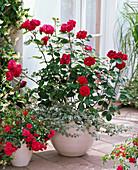 Rose 'Nadia'