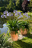 Agapanthus africanus (African lilies)