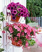 Petunia Calimero 'Candy', Conchita 'Merlot' (Petunia)
