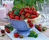 Strawberries freshly harvested in a colander