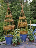 Willow as a trellis aid for Thunbergia lichens