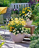 Argyranthemum 'Butterfly' (Marguerite), Petunia Sylvana