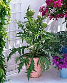 Cynara scolymus (vegetable artichoke)