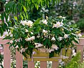 Begonia Belleconia 'White' (Hanging Begonia)