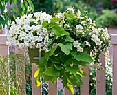 Petunia Veranda 'White', Sylvana 'Double Champagne' (Petunien)