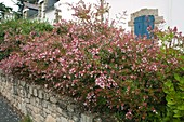 Abelia (Abelie) hedge planted on a wall