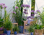 Agapanthus on balcony